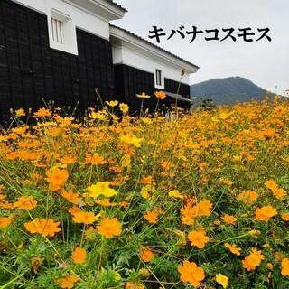 春まき花の種 「キバナコスモス」50粒(その他)