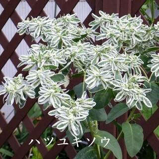 春まき花の種 「ハツユキソウ(初雪草)」30粒 (その他)