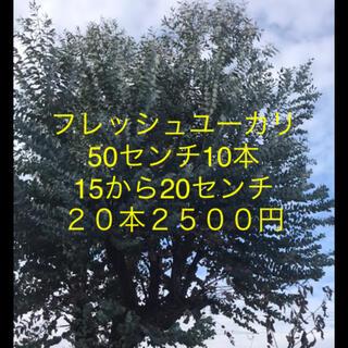 フレッシュユーカリ 50センチ10本15から20センチ20本2500円(その他)