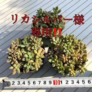 リカシルバー様専用‼️姫秋麗もりもり❣️カット苗 3ポット セール中!(その他)
