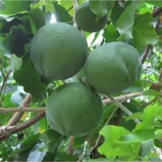 トロピカルフルーツ ホワイトサポテ モルツビー1本結実大玉品種(タイプ3)接木苗(プランター)