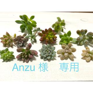 Anzu 様専用 多肉植物カット苗 カラフルミックス&パープルドリーム(その他)