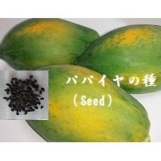 R08『パパイヤの種 100粒』  Seed タネ(フルーツ)