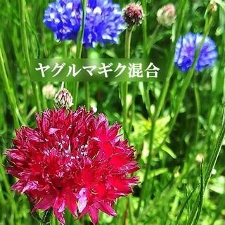 寒冷地の春まき花の種 ヤグルマギク混合種を50粒(その他)