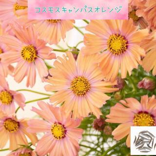 世界初の珍しい淡橙色で可愛い♡『コスモスキャンパスオレンジ』花の種30粒(その他)