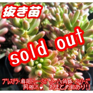 【抜き苗】オーロラ 多肉植物 セダム 紅葉 プレステラ プラ鉢(その他)