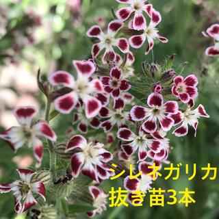 花の苗【シレネガリカ】抜き苗3本(その他)