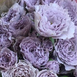 ライラックの美しい薔薇❣️挿木苗(その他)