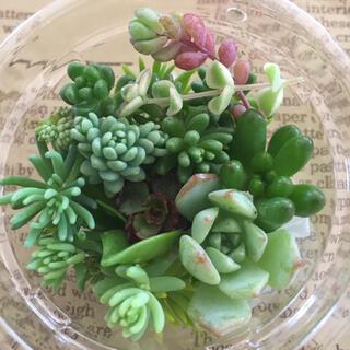 多肉植物 ちまちまカット苗(その他)