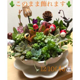 多肉植物❤︎寄せ植え❤︎このまま飾れます❤︎迎春向け♪(その他)
