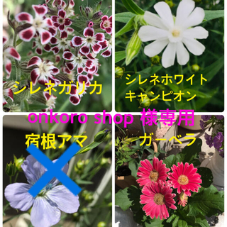 花の種【シレネガリカ・ホワイトキャンピオン・ガーベラ】(その他)