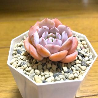 韓国苗 ピンクアイニー 多肉植物(その他)
