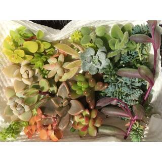 多肉植物 20種 カット苗 セダム 詰め合わせ(その他)