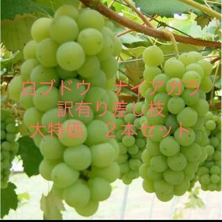 最終値下げ!白ブドウ ナイアガラ 訳有り差し枝2本セット!&おまけ(その他)