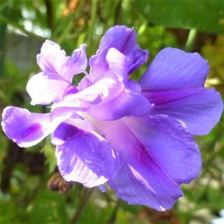☆あさがお種子☆15粒 【紫系・羽根咲きあさがお ミックス】(その他)