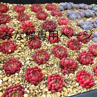多肉植物 韓国苗 Pink rubby:ピンクルルビー(その他)