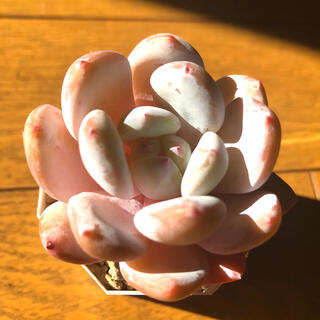 韓国苗 オレンジモンロー 多肉植物(その他)