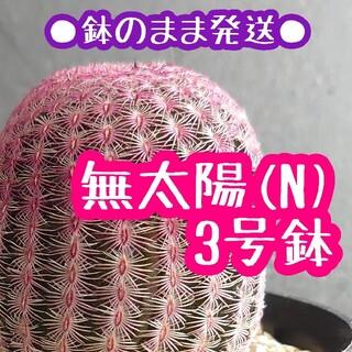 ●鉢のまま発送● 紫太陽 (N) 3号 エキノケレウス ルブリスピヌス(その他)