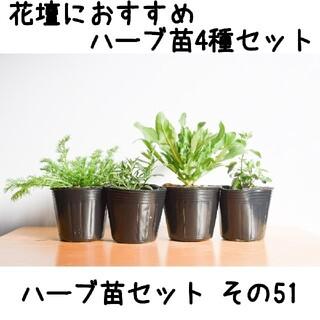 ハーブ苗セット その51 花壇におすすめハーブ苗4種セット 要望対応可!(プランター)