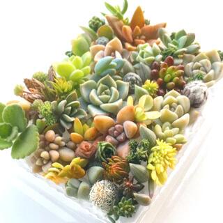 多肉植物 セダム⭐︎その他カット苗パック 15種類以上 2020  ラスト2(その他)