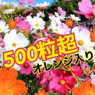 最安値 彩り コスモス ミックス 種500粒超!!!(プランター)
