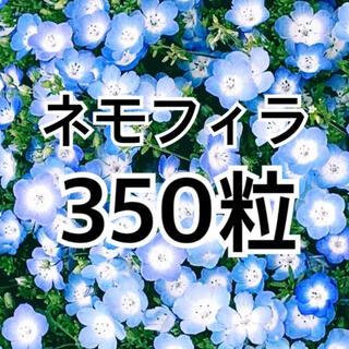 最安値 ★種350粒超★ ネモフィラ インシグニスブルー (その他)