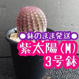 ●鉢のまま発送● 紫太陽 (M) 3号 エキノケレウス ルブリスピヌス(その他)