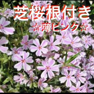 ☆来春に増えて咲く❣️根付き苗☆芝桜☆薄ピンク☆初心者向け☆(プランター)