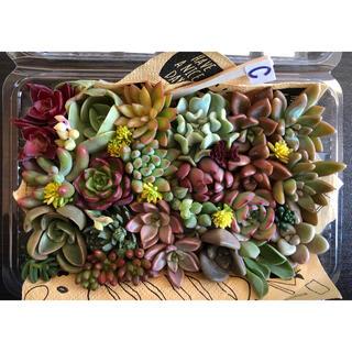 C ❣️多肉植物❣️希少♡ピーチ姫♡ 入り  名前付き セット 18種類 24苗(その他)