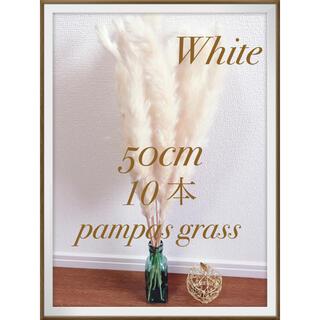 ♡早い物勝ち♡ パンパスグラス ホワイト 10(ドライフラワー)