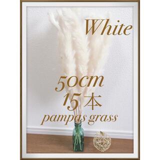 ♡15本♡ パンパスグラス ホワイト 50cm(ドライフラワー)