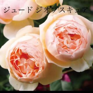 人気品種 ✽⋆*.⋆* 優雅な姿のバラ ✽⋆*.⋆* 強健 バラ苗(その他)