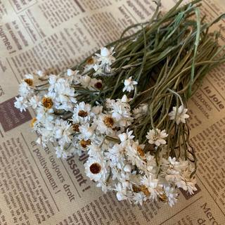 アンモビウム  ドライフラワー  花材(ドライフラワー)