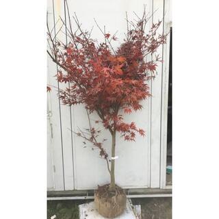 《現品》ノムラモミジ 樹高1.8m(根鉢含まず)15【野村/赤葉/苗木/紅葉】(その他)