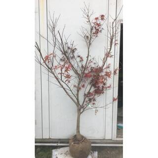 《現品》ノムラモミジ 樹高1.9m(根鉢含まず)16【野村/赤葉/苗木/紅葉】(その他)