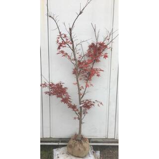 《現品》ノムラモミジ 樹高1.9m(根鉢含まず)17【野村/赤葉/苗木/紅葉】(その他)