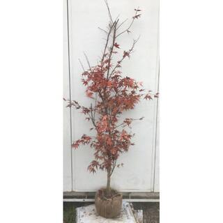 《現品》ノムラモミジ 樹高1.8m(根鉢含まず)18【野村/赤葉/苗木/紅葉】(その他)