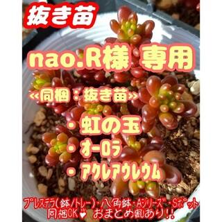 【抜き苗】レッドベリー 他 多肉植物 セダム 紅葉 プレステラ プラ鉢(その他)