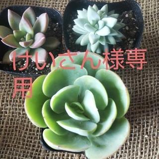 けいさん様専用多肉植物2セット、コンパクタ、アセビ(その他)