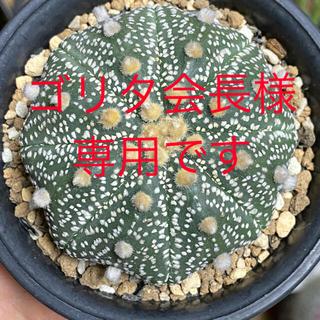 多肉植物 サボテン アストロフィツム 兜丸 実生(その他)