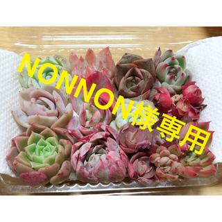 NONNON様専用❤韓国多肉植物  ミニ寄せ植えセット⑤ 12種(その他)