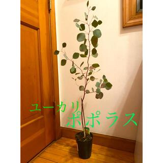 ユーカリ ポポラス  苗 大苗 苗木 90cm(その他)