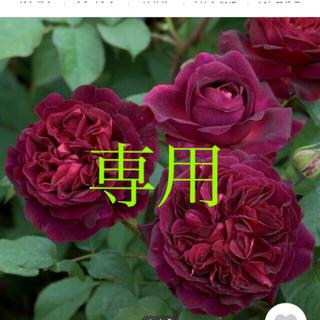 強香❣️イングリッシュ 挿木苗(その他)