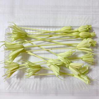 花材 ニゲラオリエンタリス フローレンティナ グリーン(ドライフラワー)