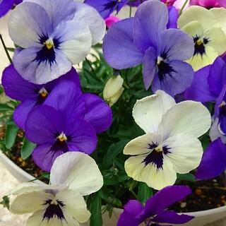 ビオラ オセロブルー 種 花 園芸 変色咲き ガーデニング フラワーガーデン(その他)