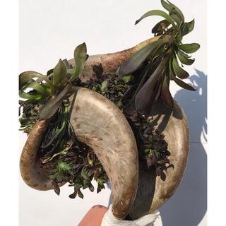 多肉植物 アエオニウム 黒法師 綴化 カット苗‼️(その他)