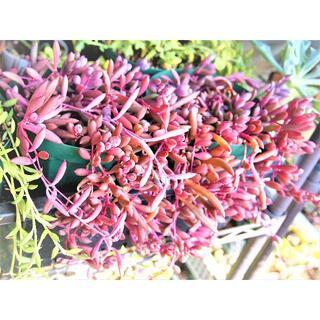 ルビーネックレス カット芽 紅葉する多肉植物 紫月 ピンク 紫(その他)