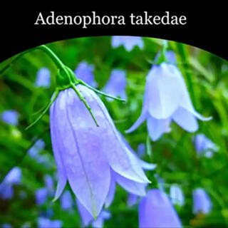 【秋風にゆれる紫の鐘】イワシャジン  山野草 【岩沙参】種子 10粒(その他)