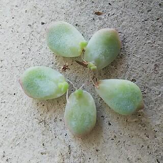 ペレスデラロサエ  ピンクエッジ♥発芽発根済み 葉挿し5枚♥多肉植物(その他)