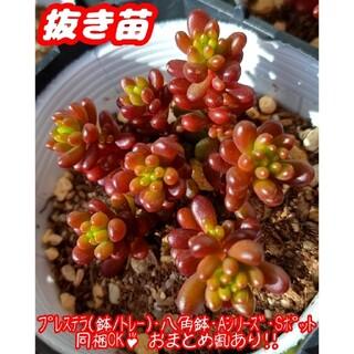 【抜き苗】レッドベリー 多肉植物 セダム 紅葉 プレステラ プラ鉢(その他)
